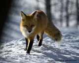 Renard Roux - Red Fox 008