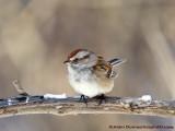 Bruant Hudsonnien - American Tree Sparrow