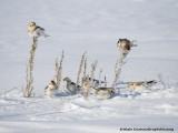 Bruants des Neiges - Snow Bunting 002