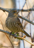 Roselin(Forme Jaune) - House Finch(Yellow Species)