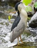 Bihorau Gris - Black Crowned Night-Heron - 005
