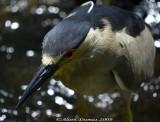 Bihorau Gris - Black Crowned Night-Heron - 007