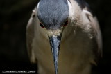 Bihoreau - Black Crowned Night Heron