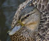 Canard Colvert Femelle - Female Mallard Duck