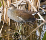Poule deau - Common Moorhen