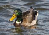 Canard Colvert Mâle - Male Mallard Duck