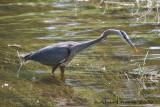 Grand Héron - Great Blue Heron - 012