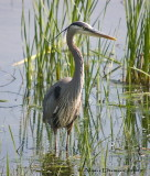 Grand Héron - Great Blue Heron - 016