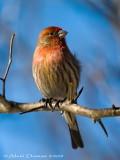 Roselin Familier - House Finch