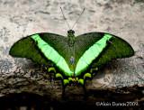 Papilio Papinurus 002