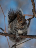 Écureuil Gris - Grey Squirrel