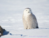 Harfang des Neiges - Snowy Owl 002