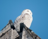 Harfang des Neiges - Snowy Owl 005