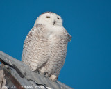 Harfang des Neiges - Snowy Owl 006