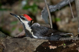 Grand Pic Femelle - Female Pileated Woodpecker