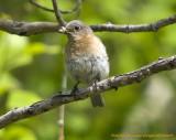 Merlebleu femelle-205652.jpg