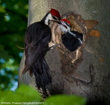 Grand Pic Femelle avec Juvénile - Female Pileated Woodpecker with Juvenile