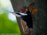 Grand Pic Juvénile - Juvenile pileated Woodpecker