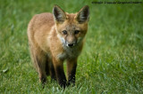 Renard Roux - Red Fox