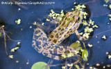 Grenouille Léopard - Leopard Frog