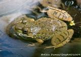 Grenouille Verte - Green Frog