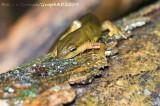 Triton Vert - Eastern Newt
