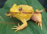 Grenouille Verte Albinos - Albinos Green Frog