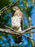 Éperviers de Cooper - Cooper's Hawks