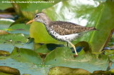Chevalier Grivelé - Spotted Sandpiper 006