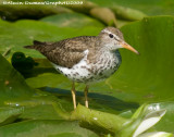 Chevalier Grivelé - Spotted Sandpiper 004