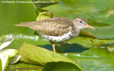 Chevalier Grivelé - Spotted Sandpiper 003