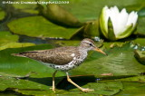 Chevalier Grivelé - Spotted Sandpiper 002