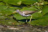 Chevalier Grivelé - Spotted Sandpiper 001