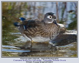 Les canards branchus - The Wood Ducks