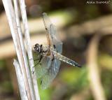 libellule La quadrimaculée