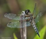 libellule quadrimaculée