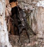 Dolomedes Mâle - Male (Fishing Spider)1492
