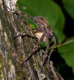 Dolomedes Femelle - Female (Fishing Spider)2531.jpg
