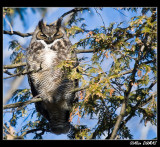 Grand Duc d'Amérique  -  Great Horned Owl