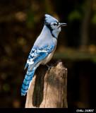 Geais Bleu - Blue Jays