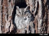 Petit Duc Maculé - Eastern Screech-Owl