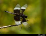 Libellule Mélancolique - Widow Skimmer