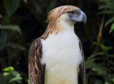 Philippine Monkey-Eating Eagle (1).jpg