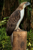 Philippine Monkey-Eating Eagle (4).jpg