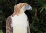 Philippine Monkey-Eating Eagle.jpg