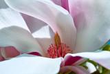 Mighty Magnolia - SDIM1372