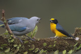 Blue-gray Tanager and Yellow-throated Euphonia