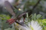 Rufous-tailed Hummingbird Harrassing Bananaquit
