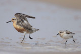 Red Knot Chased by Sanderling