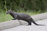 Otter, Nutria